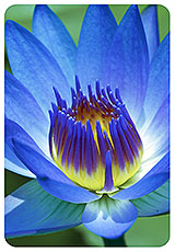 Blue lotus blue lily i am shaman blog amazingly beautiful photo of a blue lotus lily flower that we offer dried mightylinksfo