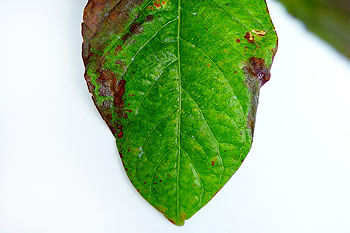 kratom-leaf-burned
