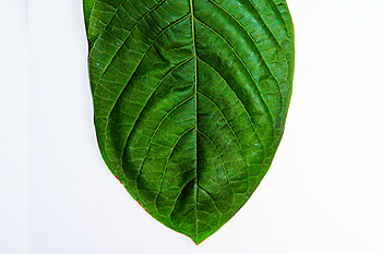 kratom-leaf-healthy