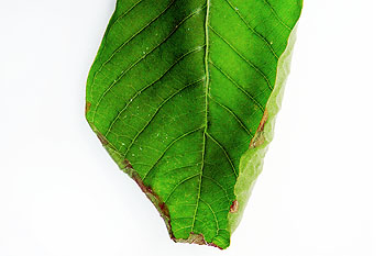 kratom-leaf-no-nutrients