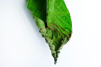 kratom-leaf-no-water