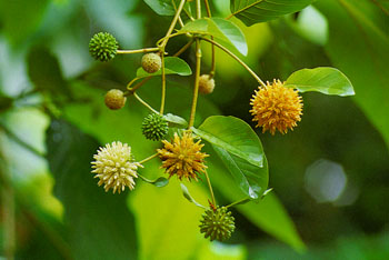 Kanna: The Herbal Antidepressant Big Pharma Doesn't Want You to Know About Mitragyna_speciosa