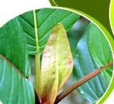Kratom Extract For Pain Relief Firesteel